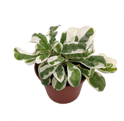 "White Carpet St. Joseph's Coat Plant - Alternanthera ficoidea - 2.5"" Pot"