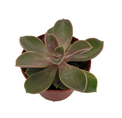 "Dusty Rose Desert Rose - Echeveria - Easy to Grow Succulent - 2.5"" Pot"