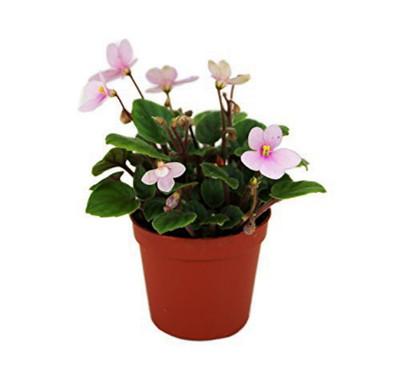"Miniature African Violet - 1 Plant/2"" Pot - Great for Terrariums/Fairy Gardens"
