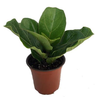 """Hirt's Fiddleleaf Fig Tree- Ficus lyrata - Great Indoor Tree-Easy - 4"""" Pot"""