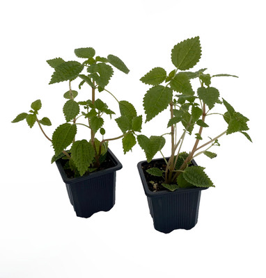 "Moon Valley Plant - Pilea mollis - Vibrant & Unique Houseplant - 2 Pack 3"" Pots"