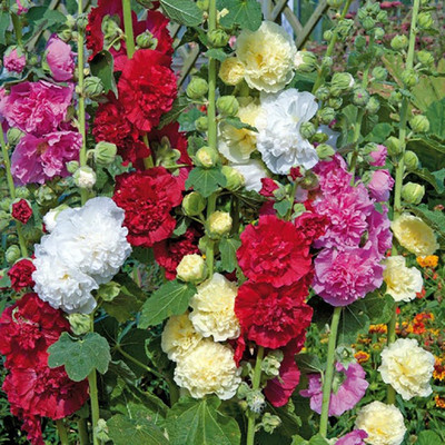 Chater's Double Mix Hollyhock - Perennial - Alcea - Quart Pot