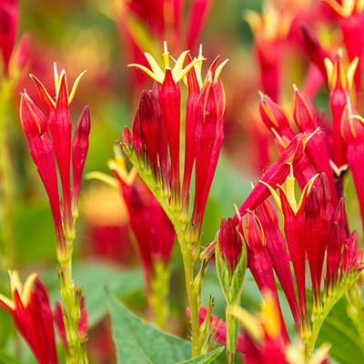 Little Redhead Spigelia - Indian Pink - Sun Perennial - Gallon Pot