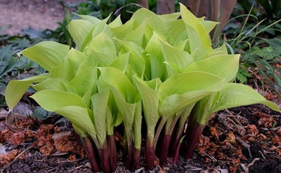 Designer Genes Hosta - Live Plant- Quart Pot - Golden Yellow Leaves / Red Stems