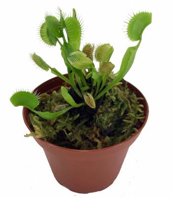"Green Dragon Venus Flytrap Live Plant - CARNIVOROUS - Dionaea - 3"" Pot"