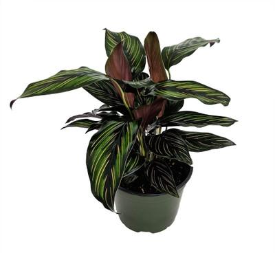 "Beauty Star Peacock Plant - Calathea - Easy House Plant - 6"" Pot"