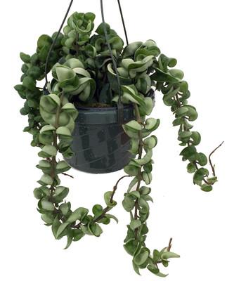 "Indian Hindu Rope Plant - Hoya carnosa compacta - 8"" Hanging Basket"