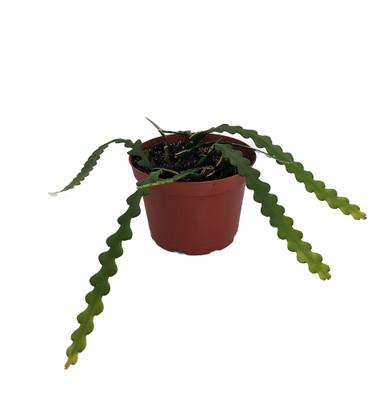 "Zig Zag, Ric Rak, Fish Bone Cactus - Selenicereus - 6"" Pot - Fragrant"