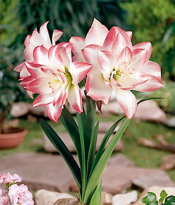 Blossom Peacock Double Amaryllis - 30/32cm Large Bulb - Immediate Shipping