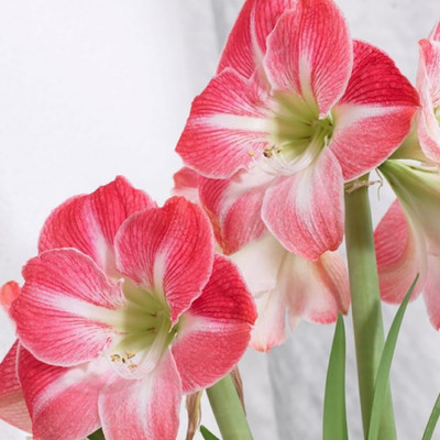 Cape Horn Giant Amaryllis Pink/White Large Bulb 30/32cm - Immediate Shipping