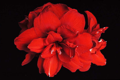 Double King Red Amaryllis - 30/32cm Large Bulb - Shipping Now/Holiday Blooms
