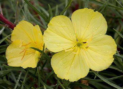 Shimmering Yellow Evening Missouri Primrose - Oenothera - Quart Pot