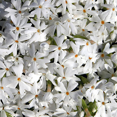 Snowflake Creeping Phlox Perennial - Quart Pot