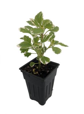 "Mint Swedish Ivy/Iboza - Plectranthus coleoides variegata - 2.5"" Pot"