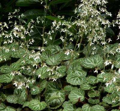 "Strawberry Begonia Plant - 4"" Mini Hanging Basket -Saxifraga- Easy House Plant"