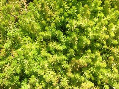 """Gold Digger Sedum - Stonecrop Succulent - Sedum sexangulare - 2.5"""" Pot"""