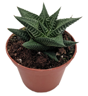 "Fairies Washboard Plant - Haworthia limifolia - 2"" Pot -Easy to Grow Succulent"