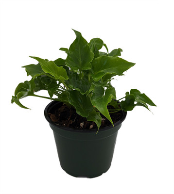 """Baby/Little Hope Philodendron - Easy to Grow House Plant - 4"""" Pot"""