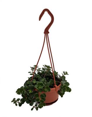 """Emerald Green Sedum - Sedum spurium Makinoi - 4"""" Mini Hanging Basket"""