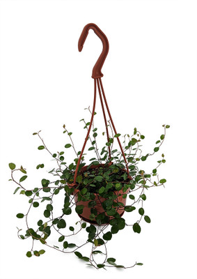 "Biblical Angel Vine - Muehlenbeckia - House Plant - 4"" Mini Hanging Basket"