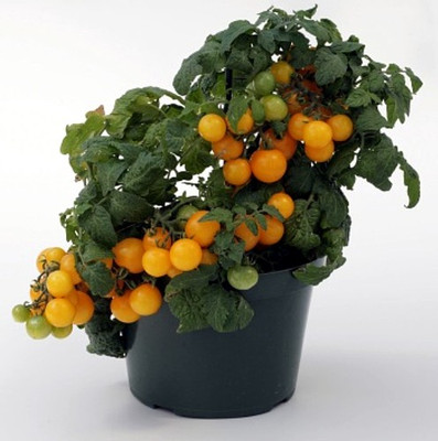 Sweet N Neat Yellow Tomato 15 Seeds - Indoors or Out