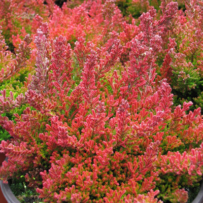 "Blazeaway Scotch Heather - Calluna vulgaris - Hardy - 2.5"" Pot"