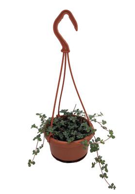 "String of Blue Tears - Pilea glauca - 4"" Mini Hanging Basket"