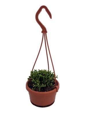 "Drunkard's Dream Mistletoe Cactus Plant - Rhipsalis - 4"" Mini Hanging Basket"