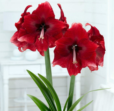Daphne Amaryllis Bulb 30/32cm - Immediate Shipping/Holiday Blooms