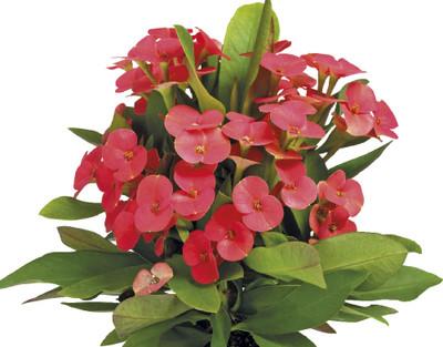 "Vulkanus Crown of Thorns - Good Luck Plant - Euphorbia Maxi - 2.5"" Pot"