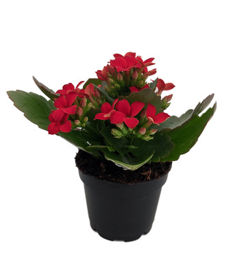 """Red Kalanchoe - 2.5"""" Pot - In Bud and Bloom / Easy House Plant"""