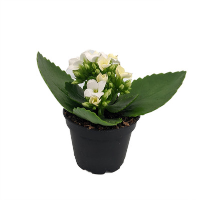 """White Kalanchoe - 2.5"""" Pot - In Bud and Bloom / Easy House Plant"""