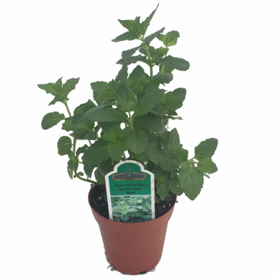 "Organic Spearmint Herb Plant - Good Scents - Mentha - 4.5"" Pot - Live Plant"