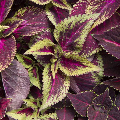 """Velvet Pistachio Plant - Solenostemon  - Fiery House Plant - 2.5"""" Pot - Easy to Grow"""