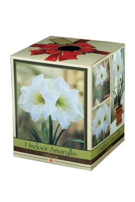 Amaryllis Kit: Athene with Plastic Pot/Saucer/Bulb - 26/28 cm Bulb - Netherland