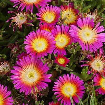 Delosperma WOW® Hot Pink Wonder Ice Plant - Live Plant - Gallon Pot