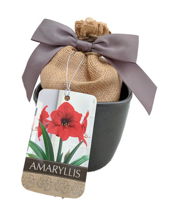 Red Lion Gray Ceramic Amaryllis Kit - Bulb/Ceramic Vase/Planting Medium