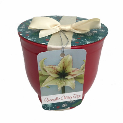Cutting Edge Amaryllis Bulb in Ceramic Planter, Bow & Gift Tag