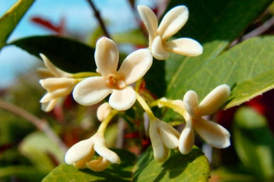 "Sweet Olive Tea Tree - Osmanthus fragrans - Indoors/Out - Romance Flower- 4"" Pot"