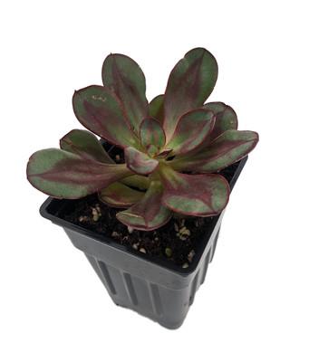 "Benitsukasa Desert Rose Succulent - Echeveria - 2.5"" Pot"