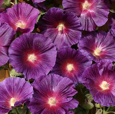 Halo Lavender Hollyhock - Perennial - Alcea - Quart Pot