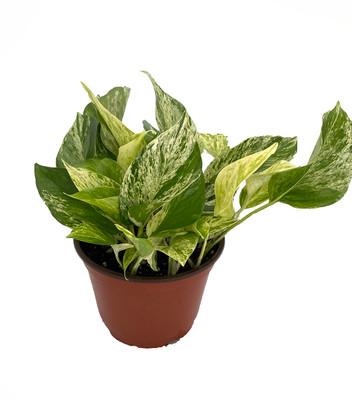 "Marble Queen Devil's Ivy - Pothos - Epipremnum - 6"" Pot"