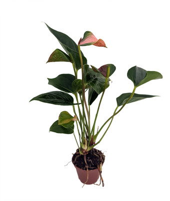 """Watermelon Miniature Blooming Anthurium - 2.5"""" Pot - Pink and Green"""