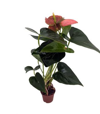 "Orange Dream Miniature Blooming Anthurium - 2.5"" Pot - Easy House Plant"