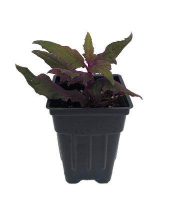 "Purple Passion Plant - 2.5"" Pot - Gynura - Indoors"