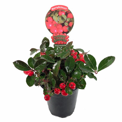 "Cherry Berries Wintergreen Plant- Gaultheria -Teaberry- Aromatic Leaves-2.5"" Pot"
