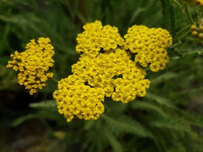 Sassy Summer Lemon Yarrow - Achillea - Sun Lover - Quart Pot