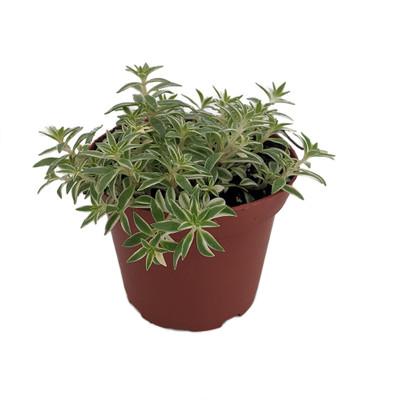 "Creme n' Green Needle Sedum lineare var. - 3.7"" Pot - Fairy Garden/House Plant"