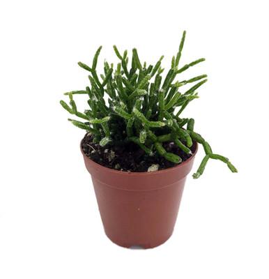 "Clavata Old Man's Beard Cactus Plant - Rhipsalis clavata - 2"" Pot"