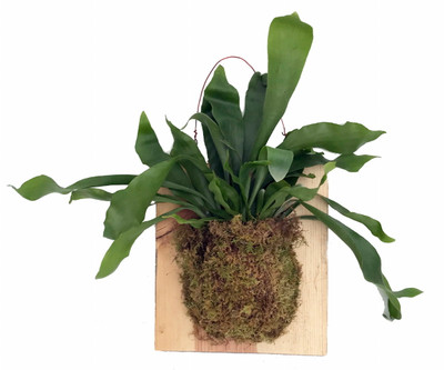"""Large Live Staghorn Fern Mounted on Natural Wood Plaque- Easy Houseplant-10""""x 9"""""""